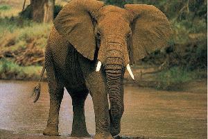 الفيلة لا تصاب بالسرطان !
