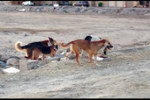 الكلاب الضالة تغزو منطقة اليادودة