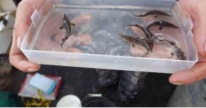 رصد سمكة مهددة بالانقراض