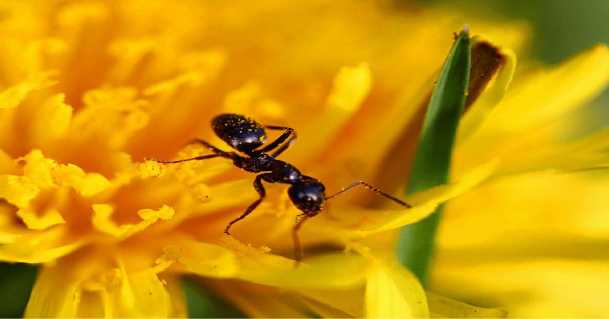 النمل يصنع المضادات الحيوية