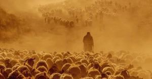 فقدان 1200 رأس من الأغنام في الرويشد