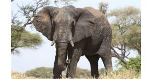 لماذا لا يصاب الفيل بالسرطان؟