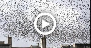 فيلم رعب يتحول الى حقيقة..غزو الطيور  (فيديو)