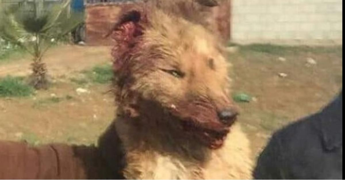 ذئب يهاجم المواطنين في مادبا.. صور