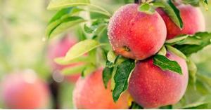 """""""تفاح الجن"""" يظهر في امريكا.. صور"""