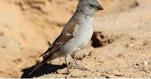الطائر الذى تسبب في وفاة 15 مليون شخص جوعاً
