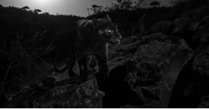 فهد أسود يظهر لأول مرة منذ مئة عام.. فيديو وصور