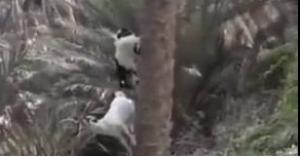 الماعز ينجح في تحدي قوانين نيوتن.. فيديو
