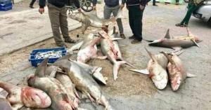 منخفض جوي يدفع اسماك القرش نحو شواطئ غزة (فيديو وصور)