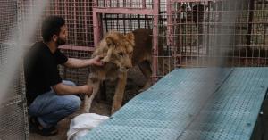 نقل حيوانات حديقة غزة إلى الأردن.. صور
