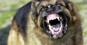 المفرق.. الكلاب قتلت طفلين ونهشت اربعة.. ولا تعاون من الجهات المعنية