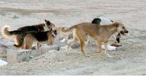 كلاب ضالة تهاجم شابا في المفرق .. صورة