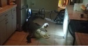 تمساح يقتحم منزل فى فلوريدا والشرطة تقبض عليه (صور)