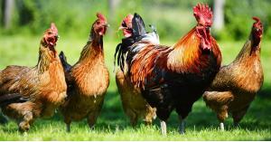 مادبا.. ضبط 200 كيلو دجاج فاسد