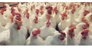 اتحاد مزارعي الدواجن يؤكد توفر الدواجن بأسعار مناسبة