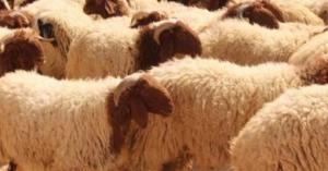 تصدير أكثر من ربع مليون رأس من الخراف