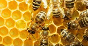 النحل يعالج مرض شائع بين الناس... تعرف عليه