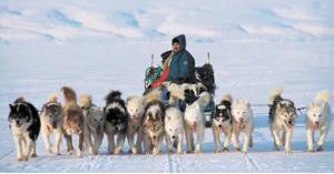 """كلاب """"القطب الشمالي"""" تفقد عملها والسبب ... فيديو"""