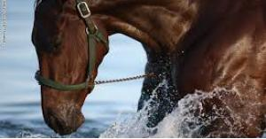 تعرف على الحصان الذي يرفض العمل قبل شرب الشاي