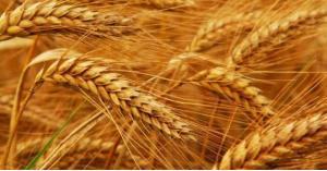 الأردن يطلق 6 أصناف جديدة من بذور القمح والشعير
