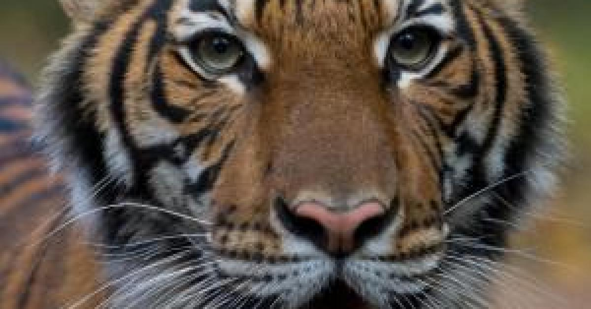 """كورونا"""" يُصيب أنثى نمر بحديقة حيوان"""