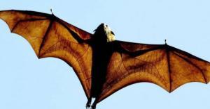 باحثون: الخفافيش تؤوي 6 أنواع جديدة من فيروسات كورونا