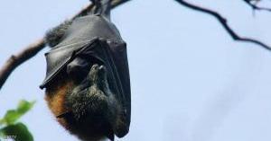 هل تسببت الخفافيش في جائحة كوورنا؟