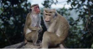 القرود تسرق عينات دم مرضى كورونا - فيديو