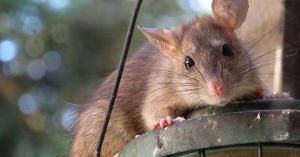 فأر يدافع عن نفسه بحركات النينجا أمام قط .. فيديو