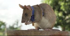 ميدالية ذهبية من نصيب فأر
