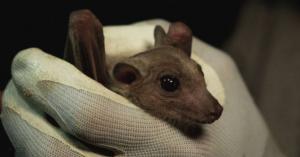 لماذا يقول العلماء إن الخفافيش ليست مسؤولة عن كورونا؟