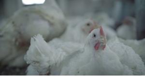 إلغاء تحديد السقوف السعرية للدجاج الطازج والنتافات