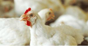 الإحصاءات: ارتفاع سعر الدجاج 34.7%