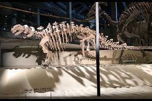 """عثر باحثون على بقايا واحد من أكثر الديناصورات المدرعة صلابة على هذا الكوكب، """"لا يمكن خرقه""""، بعد 10 أعوام من البحث والتنقيب"""
